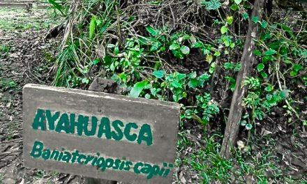 Ayahuasca: Liana de los Espíritus