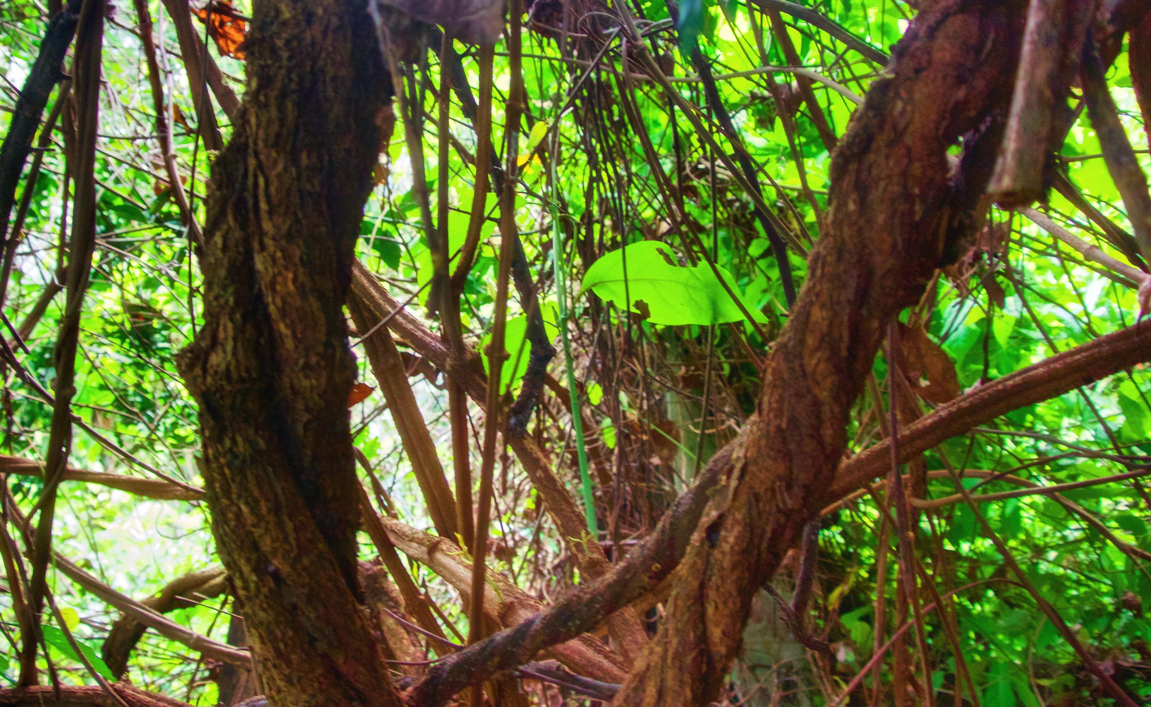 ayahuasca-planta