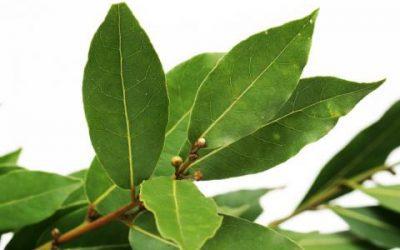 Plantas Medicinales: Laurel