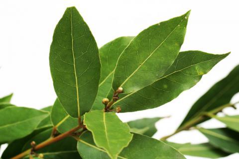 Plantas medicinales laurel espiritualidad for Planta decorativa propiedades medicinales