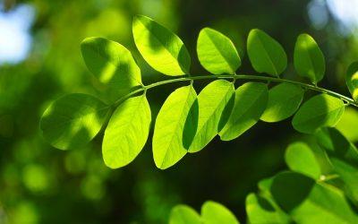 Wanamey: Mito del Árbol de la Vida
