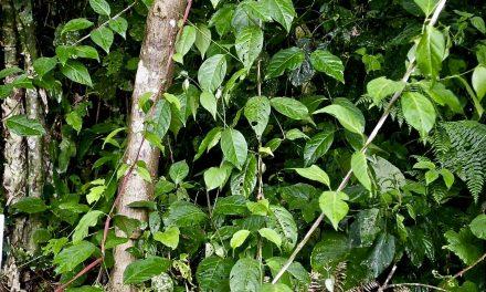 Nombre científico de la Ayahuasca: Banisteriopsis caapi