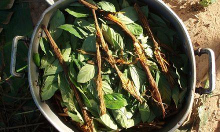 Ayahuasca: farmacología, efectos agudos, potencial terapéutico y rituales