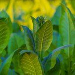 La historia del Tabaco